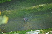 Moorhen And Chick (2)