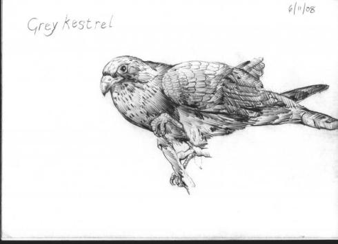 Some%20British%20Birds-65-greykestral-lo