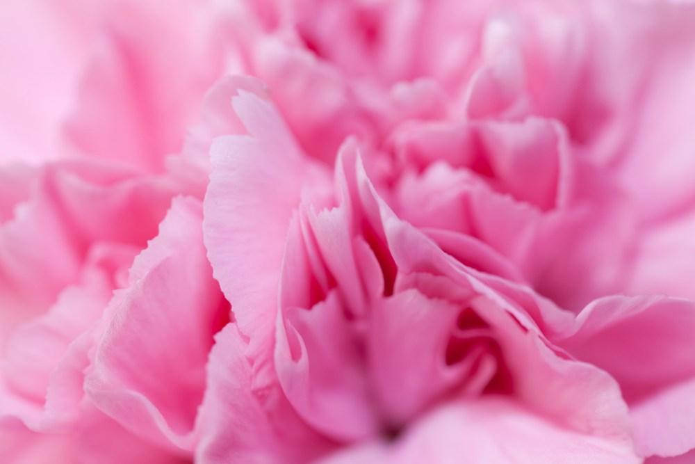 pink-carnation-detail