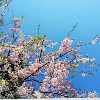 大鐘楼の桜梅
