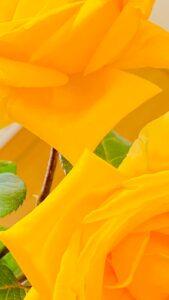 黄色いバラ 2輪