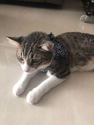 CAT VEST HARNESS AND LEASH SET TO OUTDOOR WALKING photo review