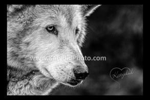 b&W_wolf