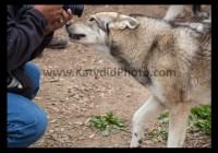 wolf_camera