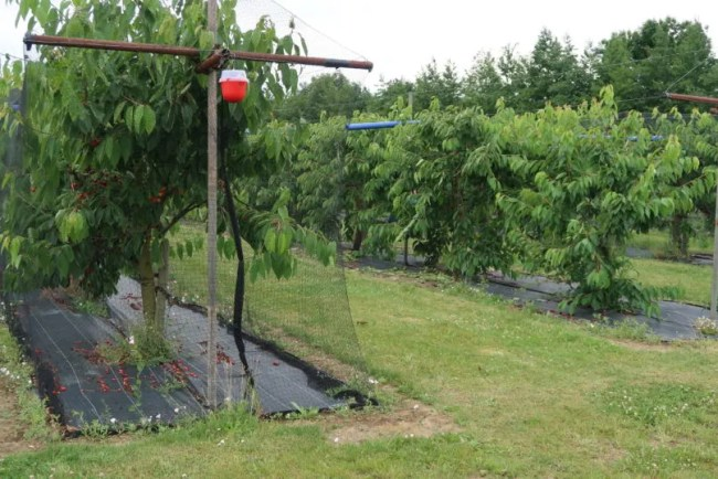 Fruit picking at Cammas Hall - A look at the open and closed cherry picking