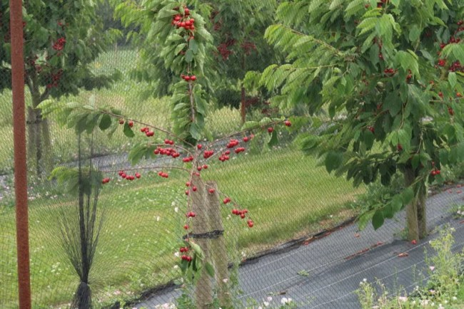 Fruit picking at Cammas Hall - PYO cherries