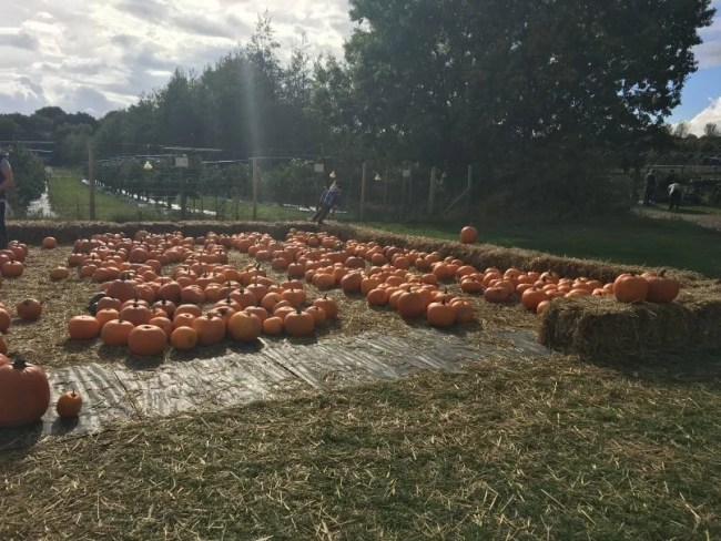 Pumpkin picking - Cammas Hall