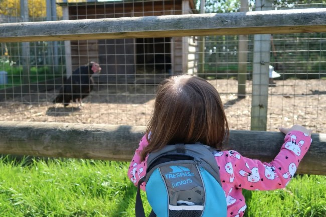 Daisy watching a turkey at Willow's Farm