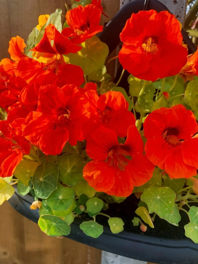 Nasturtiums that I grew in my garden - mostly red but some yellow and orange ones too