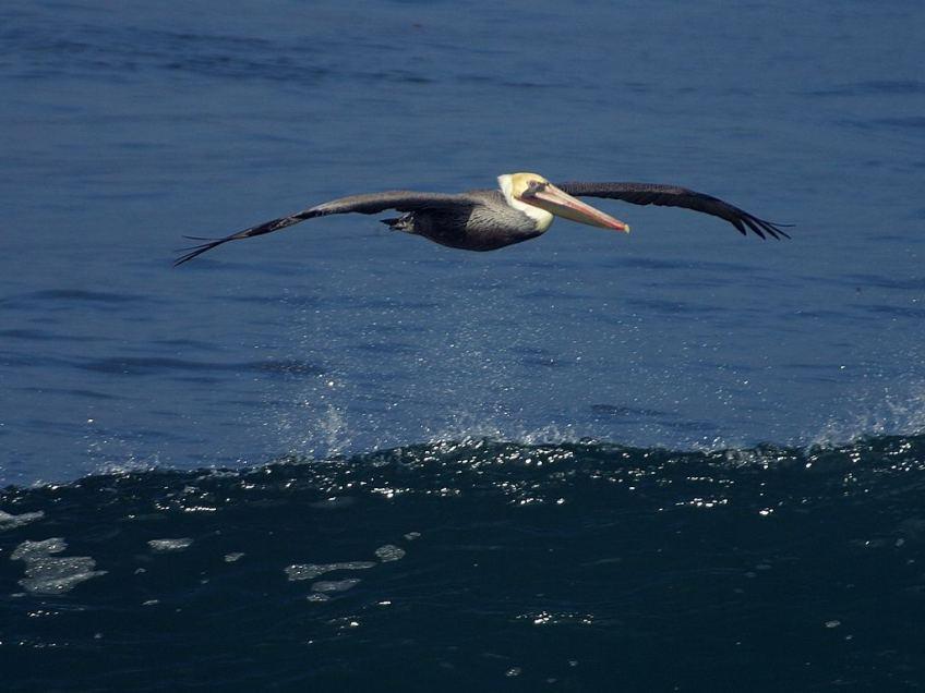 CC pelican