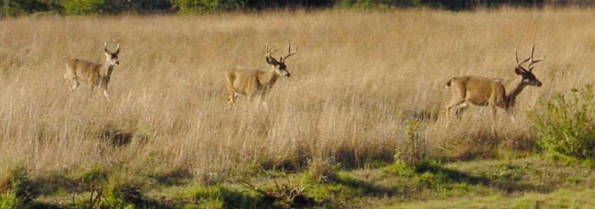 Mule Deer Bucks Photo: Katy Pye All rights reserved
