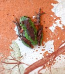 Pacific Treefrog Photo: Katy Pye All rights reserved