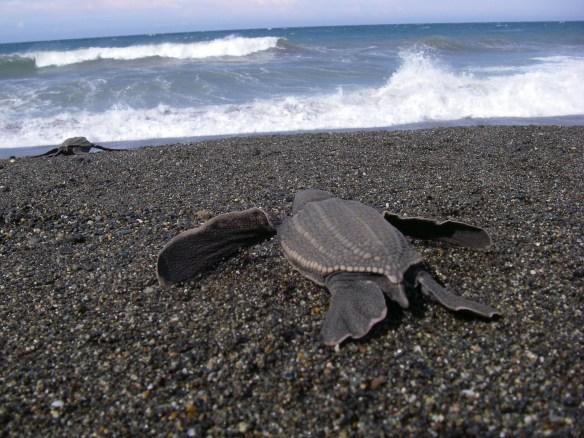 Leatherback hatchling Photograph: Scott Benson NOAA
