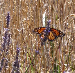 Monarch on lavender Photo: Katy Pye