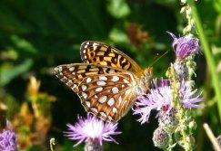 Behren's silverspot (Speyeria zerene behrensii) Source:http://espm42speyeria.wordpress.com/