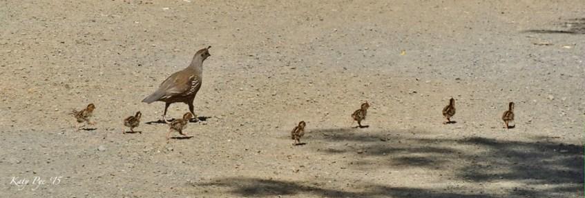 http://katypye.com Mama quail and babies