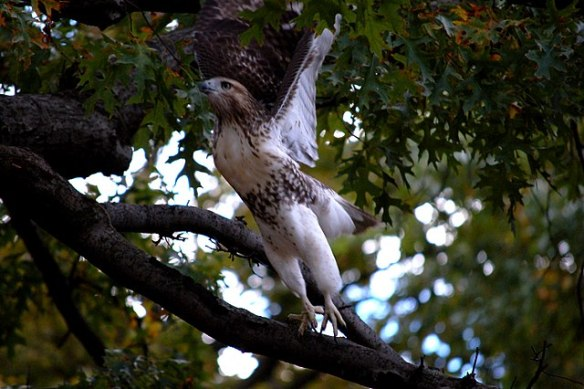 Redtailed Hawk in NYC— Public Domain image