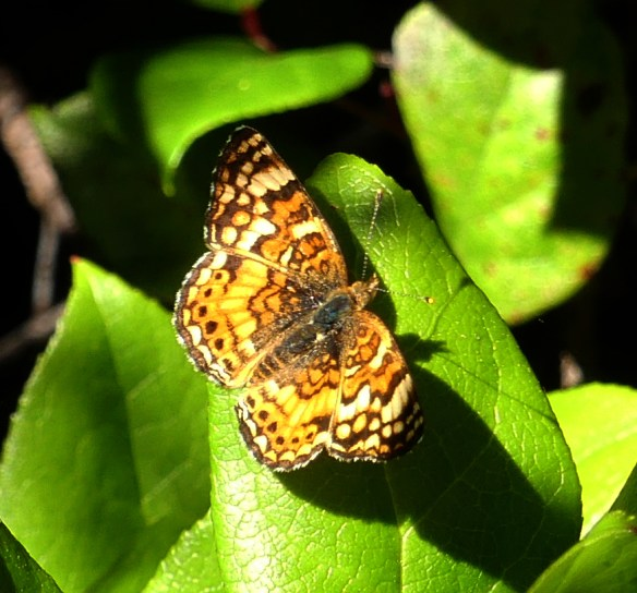 Mylitta crescent or checkerspot butterfly