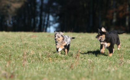 Beim gemeinsamen Spielen lernen junge Hunde, die Körpersprache ihrer Artgenossen richtig zu deuten.