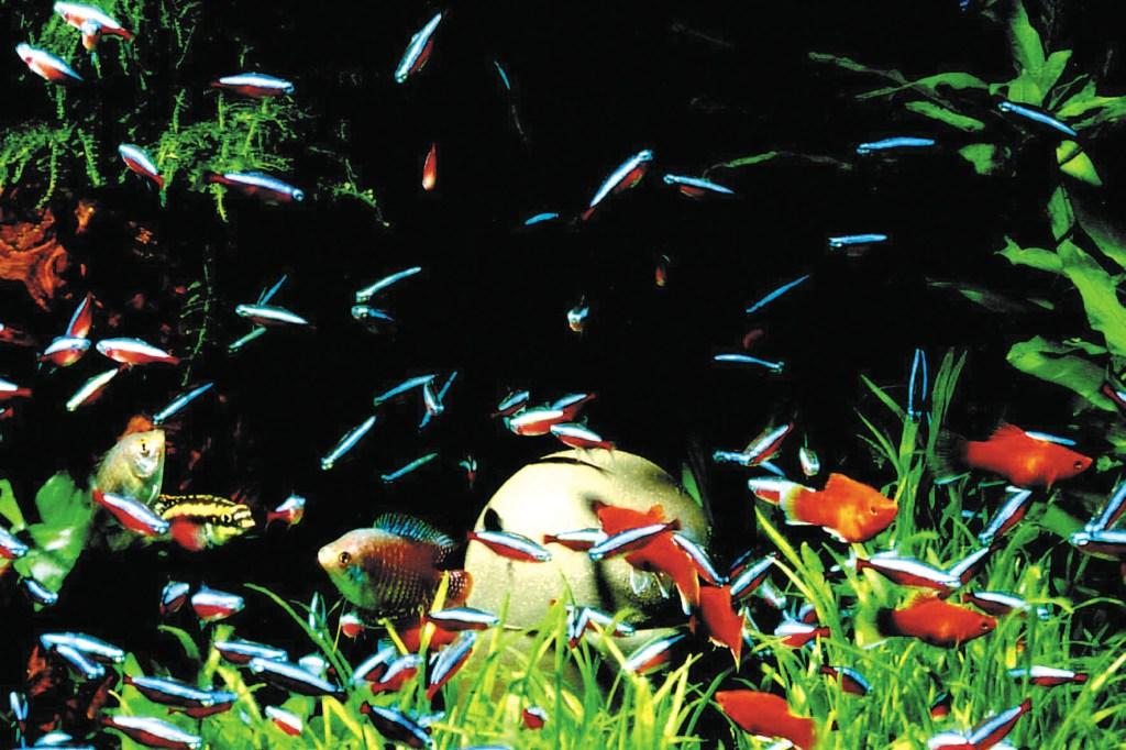 Mit einem gepflegten Aquarium kommt ein Stück Natur ins heimische Wohnzimmer, das zu einer angenehmen und entspannten Atmosphäre beiträgt - Aquaristik für Anfänger