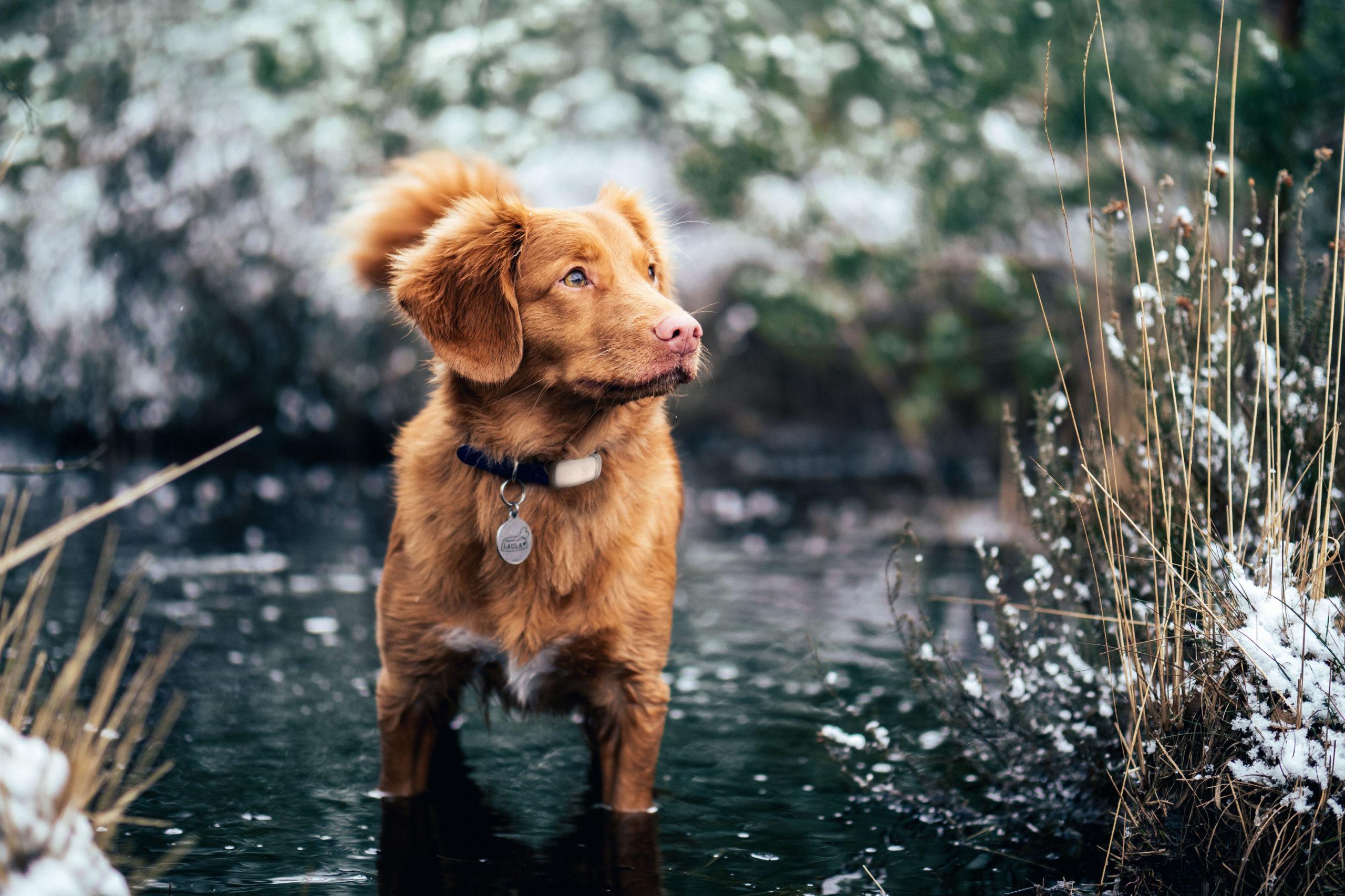 Hund mit GPS-Tracker für Haustiere im Bach