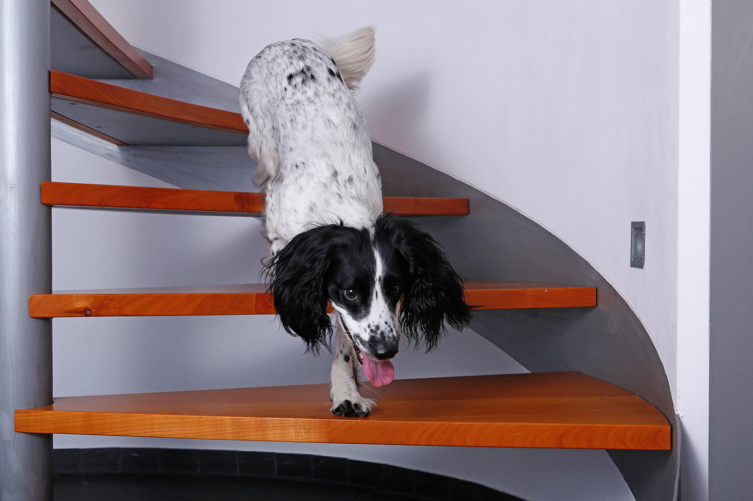 Hund mit Arthrose auf der Treppe