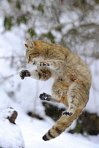 Wildcat (Felis silvestris), juvenile in winter, jumping