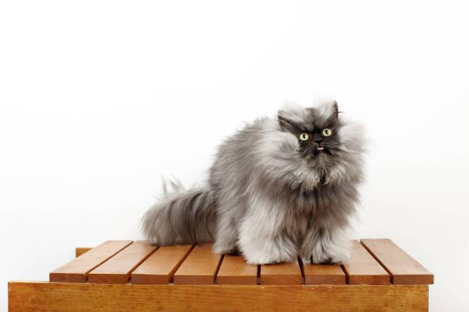 137914 Colonel Meow - Cat With The Longest Fur_0022