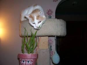 phoebegrass