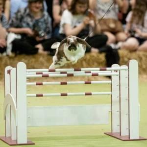 Show jumping rabbits
