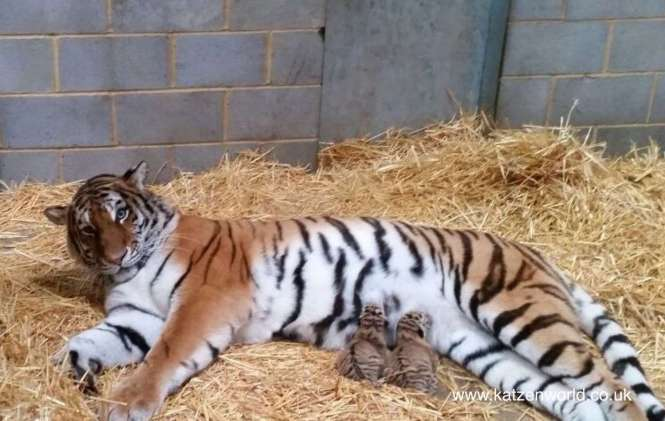 Minerva feeding cubs Woburn Safari Park