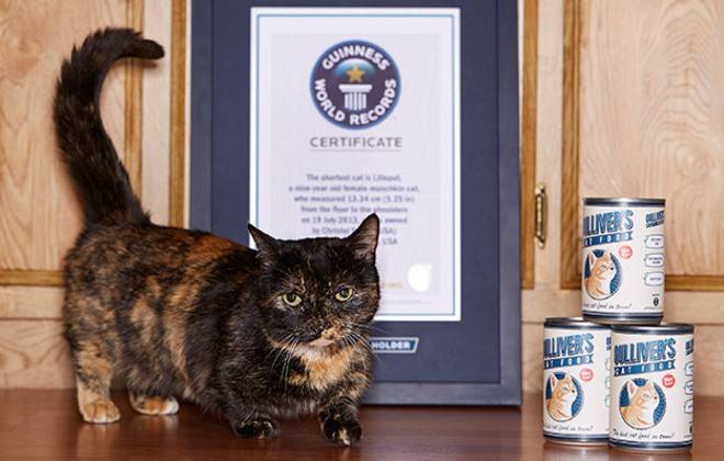 the shortest cat is lilieput a nine year old female munchkin cat who measured 1334 cm 525 in from the floor to the shoulders on 19 july 2013 - Smallest Cat In The World Guinness 2016