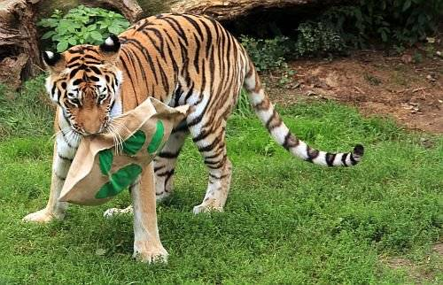 tiger-and-toy