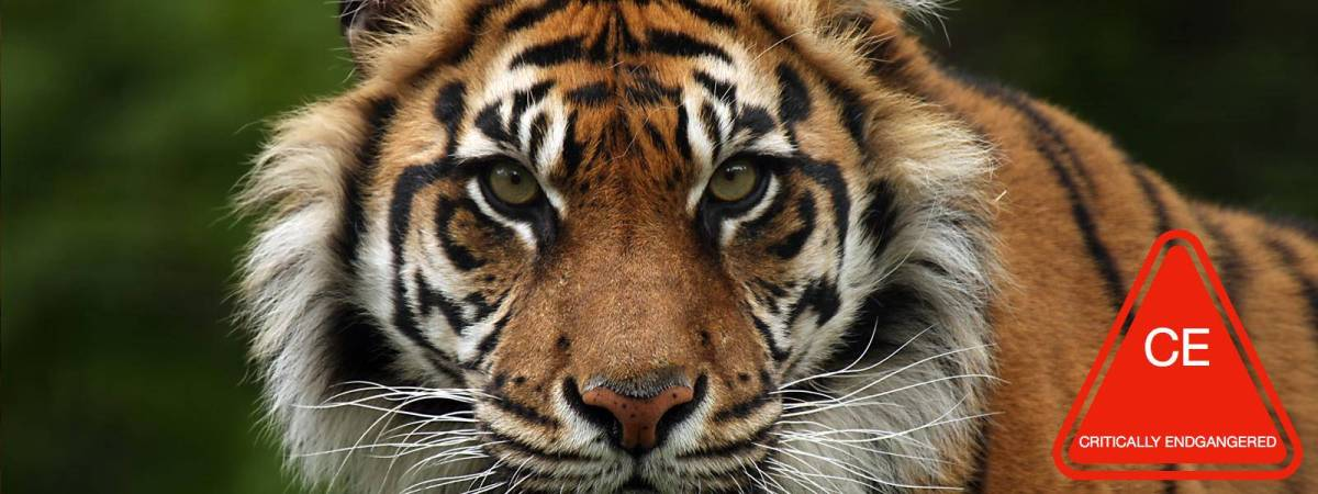 On The Brink: Sumatran Tigers