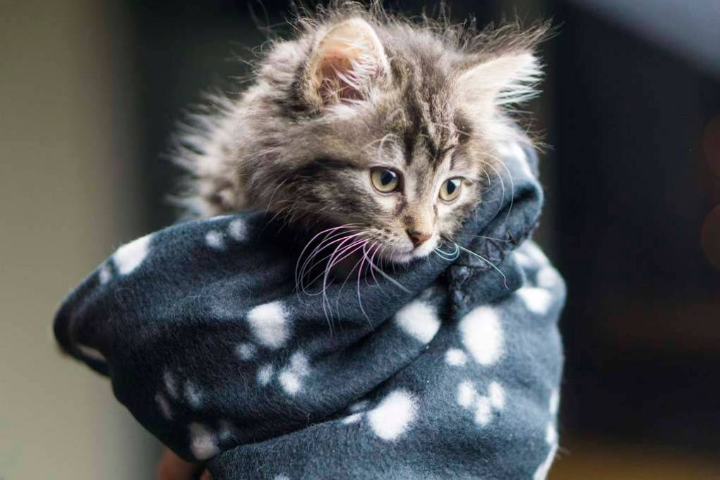 Head shot of a five week old Maine Coon kitten wrapped in a warm blanket.