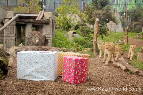 Katzenworld Lion Cubs0001