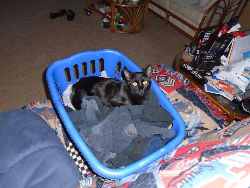 Spazzy II 2015 January Laundry cat 1
