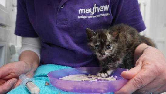 One of the royal kittens being fed by Mayhew's dedicated cattery team (2)