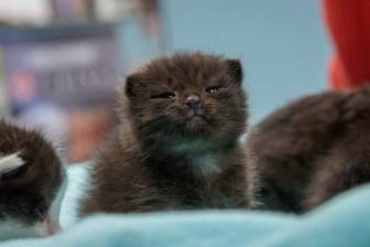 Five 1-week-old kittens were found inside a construction column in San Diego, 500 miles from where they started in Hayward. The kittens survived the journey and are being cared for by San Diego Humane Society. (Courtesy of the San Diego Humane Society)