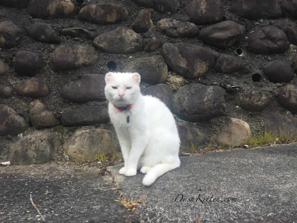 White cat portrait Using a Smartphone