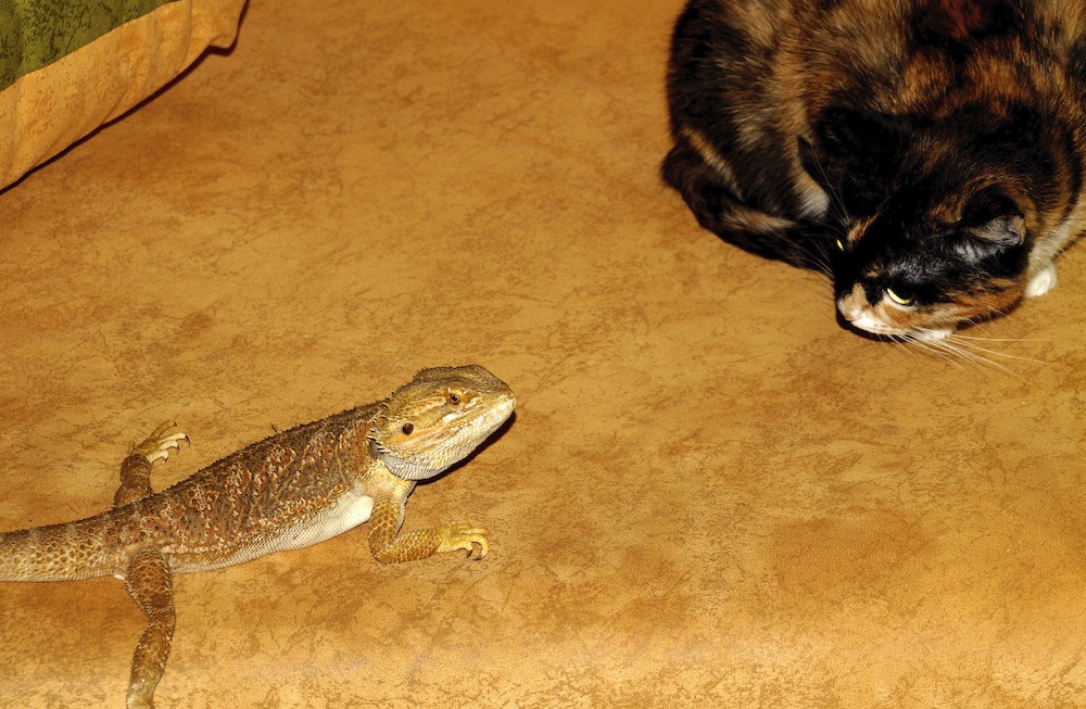 Five Things Cats and Bearded Dragons Have in Common