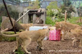 Katzenworld Lion Cubs0003