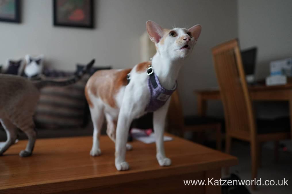 Katzenworld equi-stitch cat harness0013