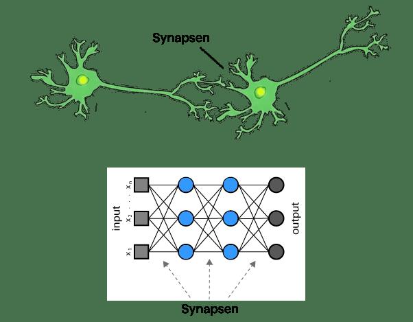 Biologisches und künstliches Neuronales Netz mit Hidden Layers