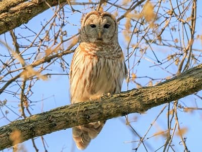 See 'Barred owl'
