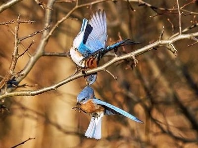 See 'Bluebirds (photo 2)'
