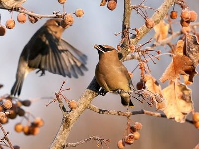 See 'Cedar waxwing (photo 3)'