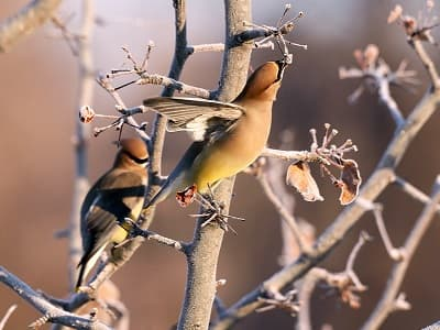 See 'Cedar waxwing (photo 5)'