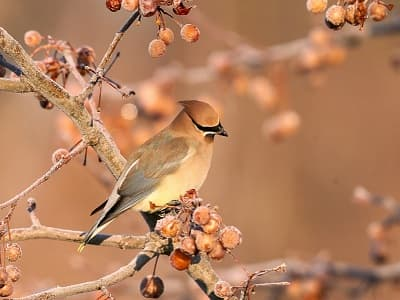 See 'Cedar waxwing (photo 6)'