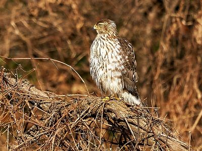 See 'Coopers hawk'